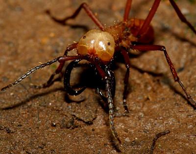 Армейские муравьи-солдаты (Eciton burchellii)