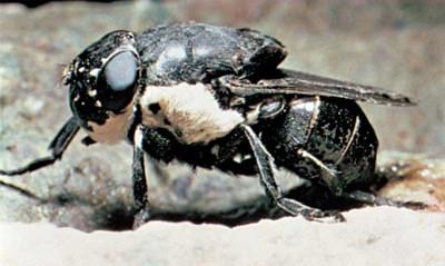Овод (семейство oestridae)
