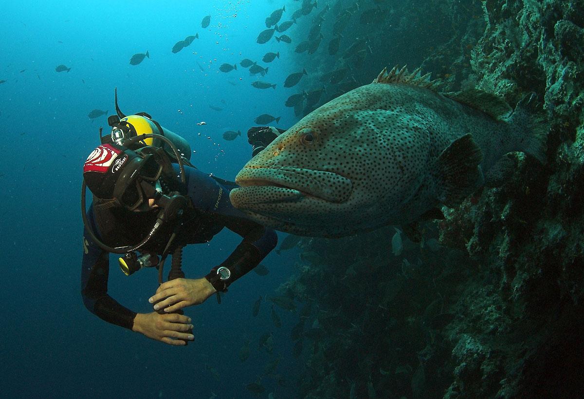 морской окунь групер видео