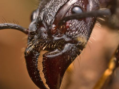 Муравей-пуля (Paraponera clavata)