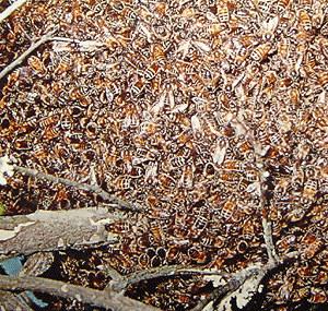 Африканизированная медовая пчела (Apis mellifera scutellata)