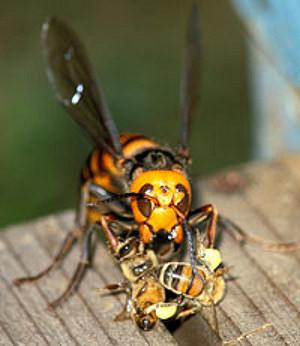 Гигантский японский шершень поедает пчел